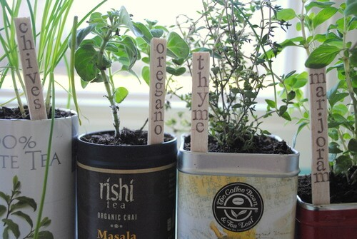 Planting herbs in tea tins